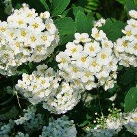 Белые гроздья :: Лидия (naum.lidiya)