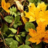 Кленовые листья :: Алина Леликова