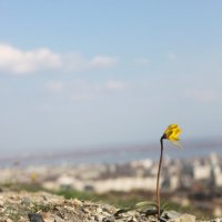 Дикий тюльпан :: Dorri S