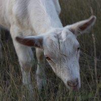 Любопытная коза :: Ирина Богатырёва