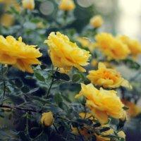 Желтые розы :: Екатерина Волкова