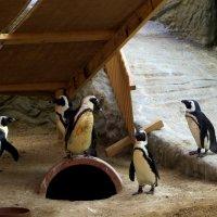 Говорят пингвины.... :: Наталья Джикидзе (Берёзина)