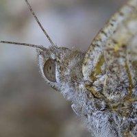 Бабочка :: Игорь Ананьев