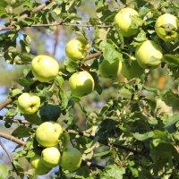 Яблочки :: Aнна Зарубина