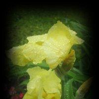 Сиянье капелек дождя :: Самохвалова Зинаида