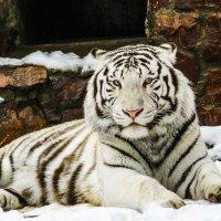 Тигр-альбинос :: Никита Иванов