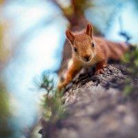 маленький, но очень любопытный бельчонок :: Антон Лихач