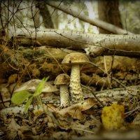 Вот так грибочки прячутся в лесу :) :: Елена Kазак