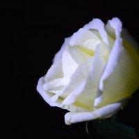 Роза :: Алина Леликова