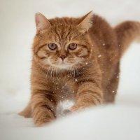 Рыжий охотник. :: Сергей Тонких