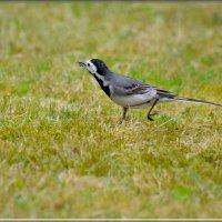 трясогузка на охоте :: linnud