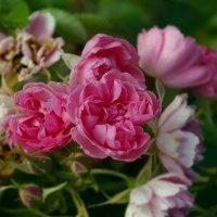 Розовые розы... :: Светлана marokkanka