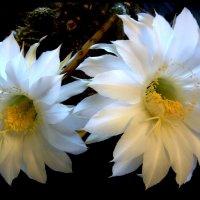 Мой кактус. :: Тамара Бучарская