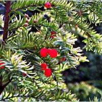 Тис ягодный. :: Валерия Комова