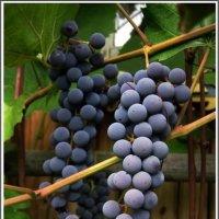 Уральский виноград :: muh5257