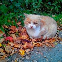 Рыжий кот на рыжих листьях :: Ольга Голубева