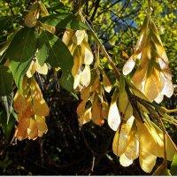Кленовые гроздья :: Лидия (naum.lidiya)