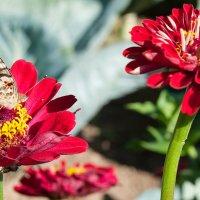 Бабочка :: Антон Иванов