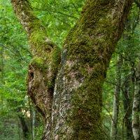 В самшитовом лесу :: Sergey