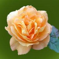 Роза желтая,роза чайная :: Наталья Джикидзе (Берёзина)