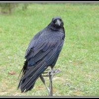 ворон хозяина тайги в гостьях в  московской области :: Svetlana AS