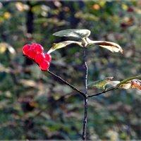лесные ягоды :: Сергей Швечков