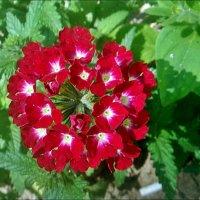 Вот вербена - цвет волшебный… :: Нина Корешкова
