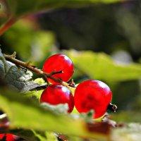 Ягоды красной смородины :: Полина
