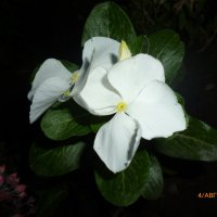 Ночной цветок :: Елена Овчинникова