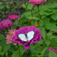 Бабочка на цветке. :: zoja