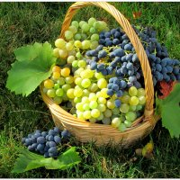 Время сбора винограда... :: Тамара (st.tamara)