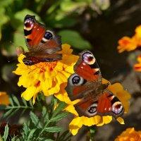 Butterflies :: john dow
