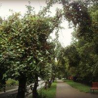 Яблочная аллея в г. Дзержинский :: Ольга Кривых