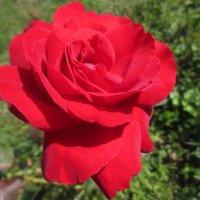 Красная роза-эмблема любви. :: Любовь