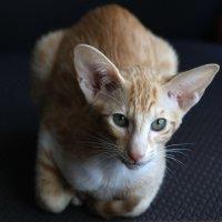 Ориентальная кошка :: Сергей Галкин