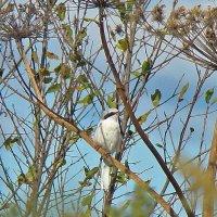 серый сорокопут :: gawrilа - dan