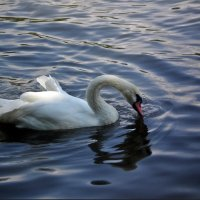 Лебедь :: Татьяна Пальчикова