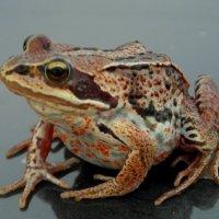 Местная жаба. :: nadyasilyuk Вознюк