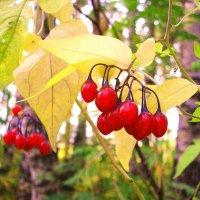 Паслён горько-сладкий. Solanum dulcamara. :: VasiLina *