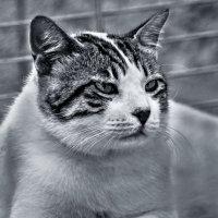 Портрет по заказу2-из серии кошки очарование моё! :: Shmual Hava Retro