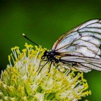 Бабочка капустница :: юрий Амосов