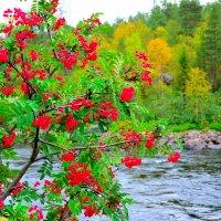 Река Кола в рябиновом убранстве... :: Александр Кокоулин