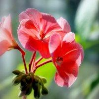 Цветок герани :: Геннадий Храмцов