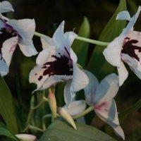 Орхидея. Мильтония гибридная :: Елена Павлова (Смолова)