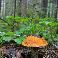 Обхожу я лесные опушки... :: Танюша Коc