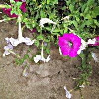 цветы петуния :: Татьяна Королёва