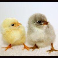 цыплята братки :: Natalya секрет