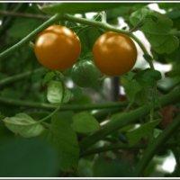 pomo d'oro — золотое яблоко :: muh5257