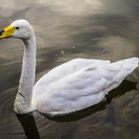 Лебедушка в городском пруду :: Антонина Шевчук