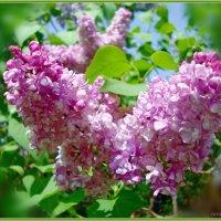 Весенние этюды.Цветение :: Лидия (naum.lidiya)